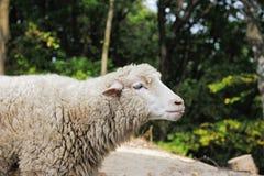 Moutons sur un fond de la forêt images libres de droits
