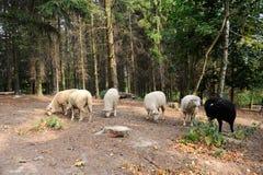 Moutons sur un fond de la forêt image libre de droits