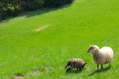 Moutons sur un pré à une forêt Images stock
