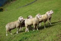 Moutons sur un pré Photos stock