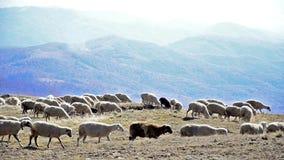 Moutons sur un pré banque de vidéos