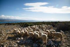Moutons sur un pré Image libre de droits