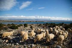 Moutons sur un pré Images libres de droits