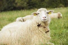 Moutons sur un pré photo libre de droits