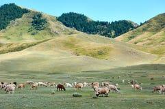Moutons sur un pré de montagne, Ketmen Ridge, Kazakhstan Photo libre de droits