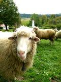 Moutons sur un pré vert photos libres de droits