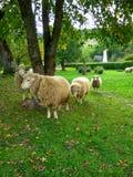 Moutons sur un pré vert images libres de droits