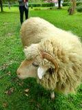 Moutons sur un pré vert photo stock