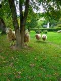 Moutons sur un pré vert images stock