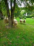Moutons sur un pré vert photographie stock libre de droits