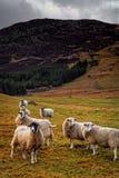 Moutons sur une côte Image stock