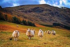 Moutons sur une côte Photographie stock