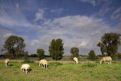 Moutons sur une digue Photographie stock libre de droits