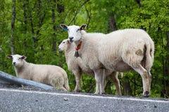 Moutons sur une route Image libre de droits
