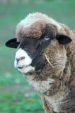 Moutons tête-Australie Images libres de droits