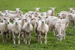 Moutons tondus Photographie stock