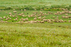 Moutons tondus Photo stock