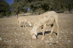 Moutons tondus photographie stock libre de droits