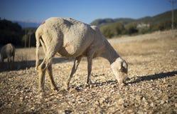 Moutons tondus image libre de droits