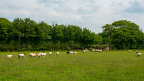 Moutons tondus blancs Photo stock