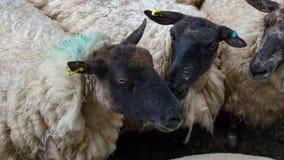 Moutons tondus blancs Photos libres de droits