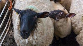 Moutons tondus blancs Images libres de droits