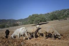Moutons tondus et chèvres photographie stock libre de droits