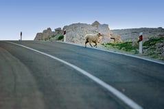 Moutons traversant la route sur l'île PAG en Croatie Photographie stock