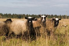 moutons trois Images stock
