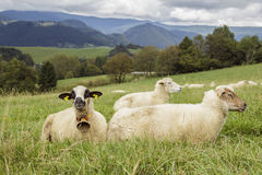 moutons verts de zone Photographie stock libre de droits