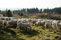 Moutons Vosges stock photo