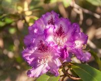 Free Mouve Rhododendron At The Botanic Garden In Blackheath Royalty Free Stock Images - 123500639