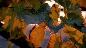 Mouvement de caméra le clignotement de la lumière du soleil par les feuilles de vigne au coucher du soleil clips vidéos