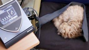 Mouvement de chat persan somnolent sur la chaise tout en faisant la thérapie de Bemer à la maison clips vidéos