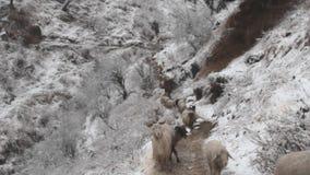 Mouvement de moutons dans le fichier unique le long de la traînée de montagne banque de vidéos