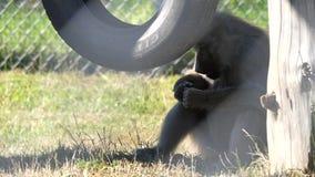 Mouvement de singe mangeant la banane sur l'herbe au zoo clips vidéos