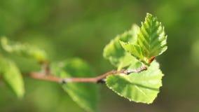 Mouvement de vent de pousse d'arbre de bouleau léger au printemps - banque de vidéos