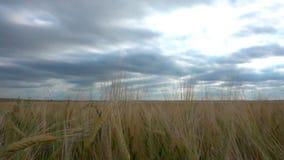 Mouvement des nuages pendant l'été au-dessus des champs de blé banque de vidéos