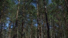 Mouvement léger lumineux de timelapse de pins de sumer ensoleillé de hypperlapse banque de vidéos