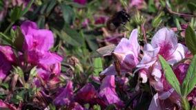 Mouvement lent de bourdon pollinisant de belles fleurs Fleur de bourdon banque de vidéos
