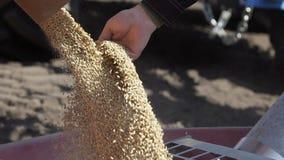 Mouvement lent de d?charger le bl? dans la remorque de tracteur pour semer la terre banque de vidéos