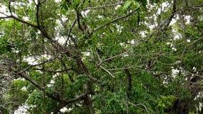 Mouvement lent de rose des vents pie malaisienne d'oiseau banque de vidéos