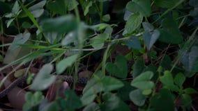 Mouvement lent de serpent lisse dans ramper d'herbe Explorer le plancher de forêt banque de vidéos