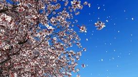 Mouvement lent en baisse 4K de pétales de fleur de Sakura de cerise banque de vidéos