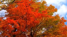 Mouvement lent - l'orange de Pan Across Tall Trees With laisse le soufflement en brise pendant les couleurs d'automne au Vermont banque de vidéos