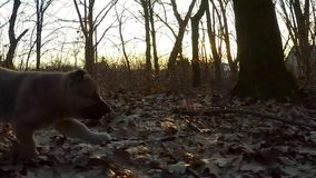 Mouvement lent Le chiot fonctionne à l'appareil-photo banque de vidéos