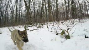 Mouvement lent Le chiot fonctionne à l'appareil-photo Forêt congelée clips vidéos