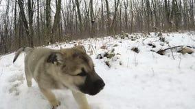 Mouvement lent Le chiot fonctionne à l'appareil-photo Forêt congelée banque de vidéos