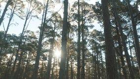 Mouvement lent par une forêt impeccable de pin dans la belle lumière de matin Les rayons de soleil brillent entre les arbres banque de vidéos