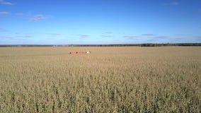 Mouvement près de la moissonneuse d'ensilage fonctionnant sur le champ de maïs clips vidéos